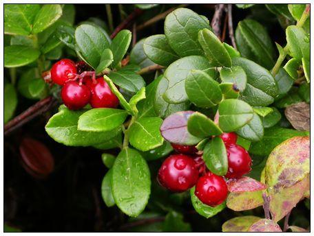 蔓越莓天然保健效果惊人?三类人一定要知道