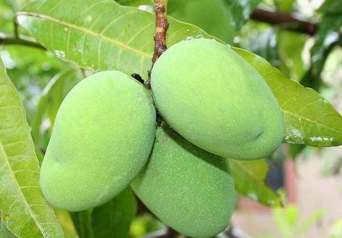 芒果不熟营养也高,青芒果可通便杀菌