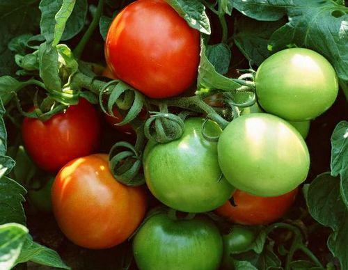 青番茄苹果籽没熟的四季豆,这些食物比砒霜还毒