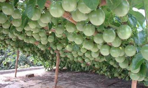 这种水果的营养价值比苹果高10倍!