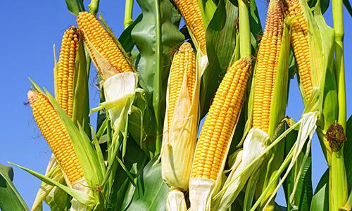 """玉米不只是用来吃的,也是用来""""用""""的"""