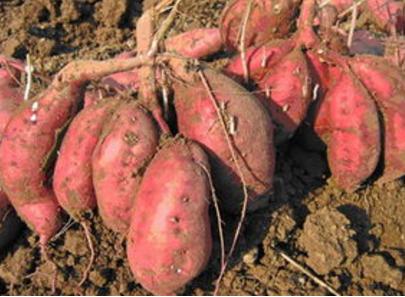 这5种常见的果蔬竟自带毒素,食用要特别注意!