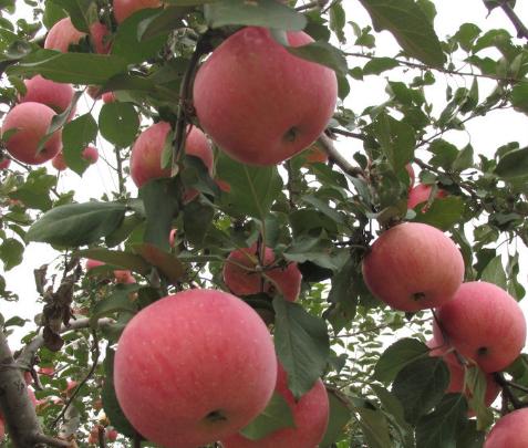 冬令进补也能清爽喝!苹果山药排骨汤暖身更暖心