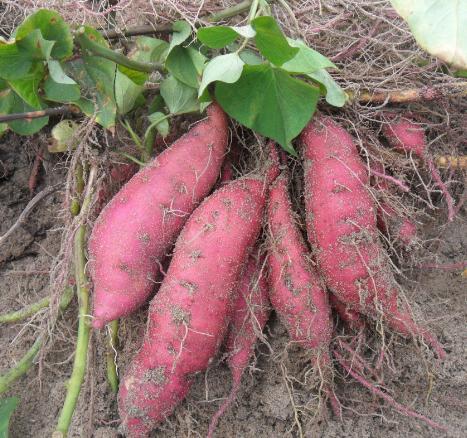 红薯第一抗癌菜,这么吃最抗癌