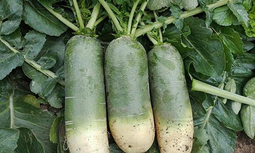 萝卜是个好东西,但是不同的萝卜有不同的功效,别吃错了