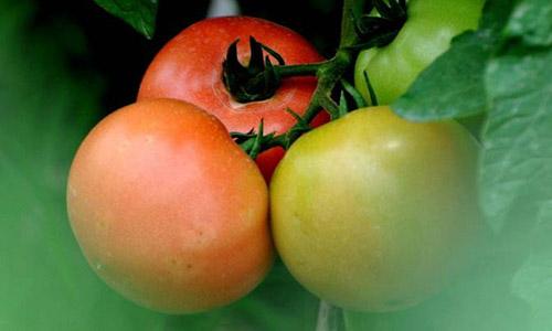 吃番茄好处多,但是禁忌你们懂吗?