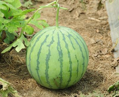 夏季吃西瓜,这3个要点要注意