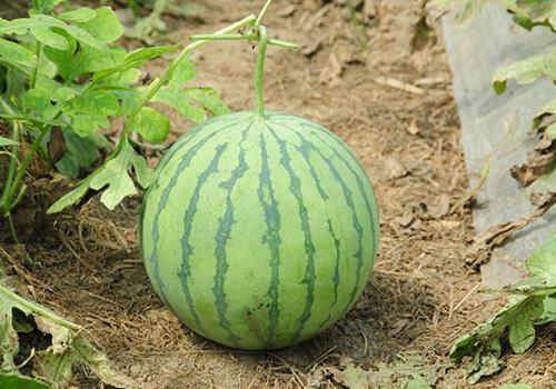夏天吃西瓜需注意:这5种人别吃西瓜!