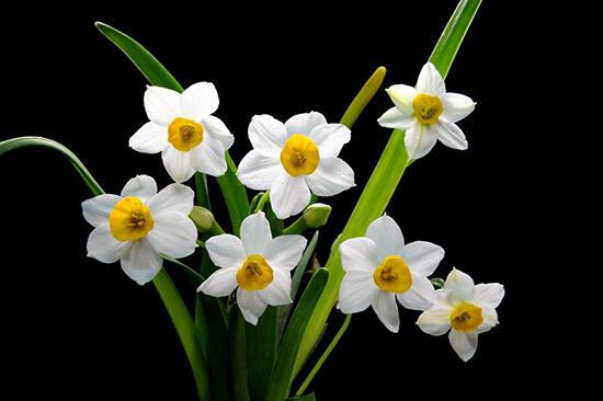 這些花卉有毒,最好不要在家裏養