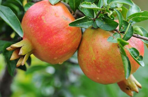 石榴维生素c含量是苹果2倍,每天1个抗衰老
